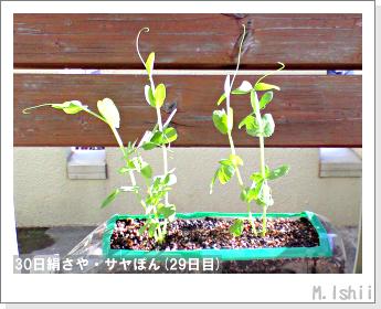 ペット栽培・試験録(30日絹さや)22
