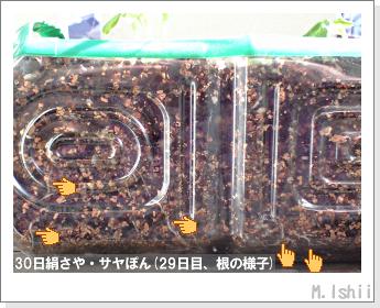 ペット栽培・試験録(30日絹さや)23
