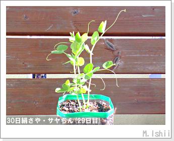 ペット栽培・試験録(30日絹さや)24