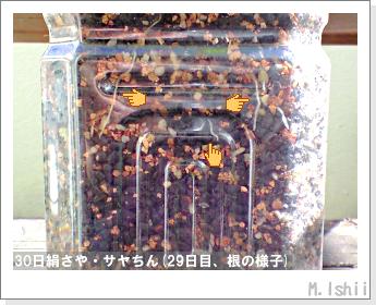 ペット栽培・試験録(30日絹さや)25