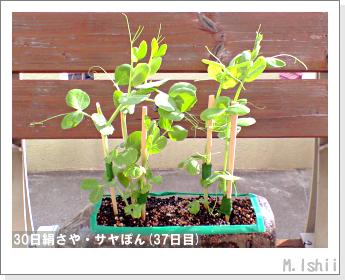 ペット栽培・試験録(30日絹さや)26