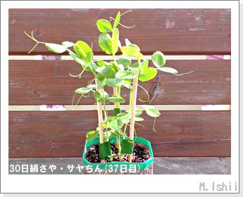 ペット栽培・試験録(30日絹さや)27