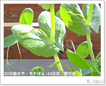 ペット栽培・試験録(30日絹さや)29
