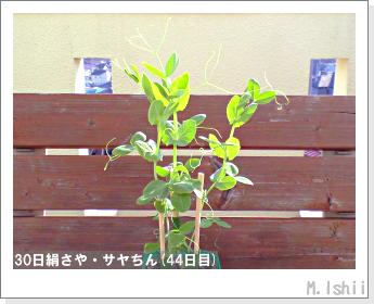 ペット栽培・試験録(30日絹さや)30