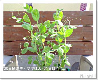 ペット栽培・試験録(30日絹さや)31