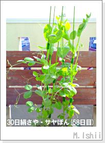 ペット栽培・試験録(30日絹さや)33