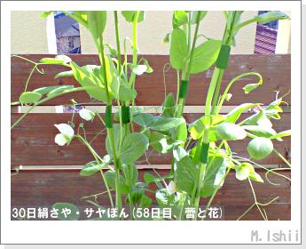 ペット栽培・試験録(30日絹さや)34