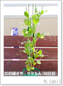 ペット栽培・試験録(30日絹さや)35