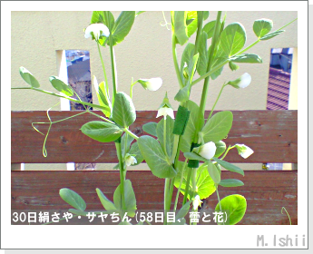 ペット栽培・試験録(30日絹さや)36
