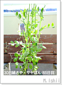 ペット栽培・試験録(30日絹さや)37