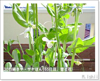 ペット栽培・試験録(30日絹さや)38