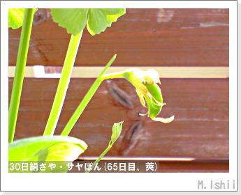ペット栽培・試験録(30日絹さや)39