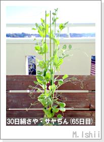 ペット栽培・試験録(30日絹さや)40