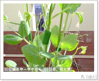 ペット栽培・試験録(30日絹さや)41