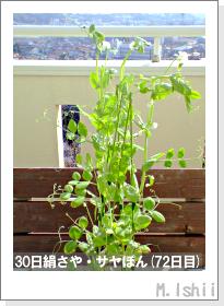 ペット栽培・試験録(30日絹さや)42