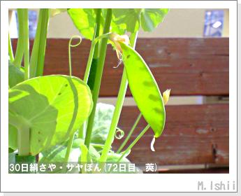 ペット栽培・試験録(30日絹さや)43
