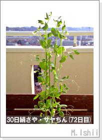 ペット栽培・試験録(30日絹さや)44