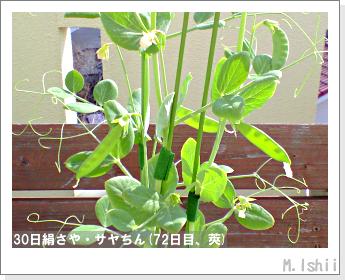 ペット栽培・試験録(30日絹さや)45