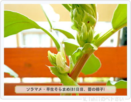 ペトさい(ソラマメ・改)48