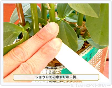 ペトさい(ソラマメ・改)55