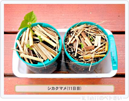 ペトさい(シカクマメ)10