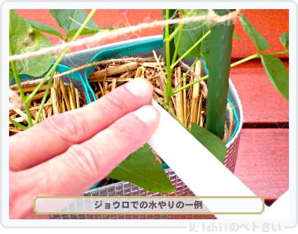 ペトさい(シカクマメ)34
