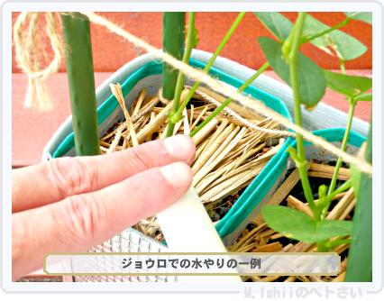 ペトさい(シカクマメ)52