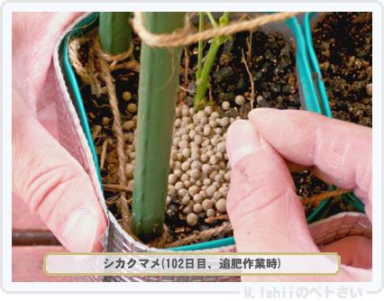 ペトさい(シカクマメ)68