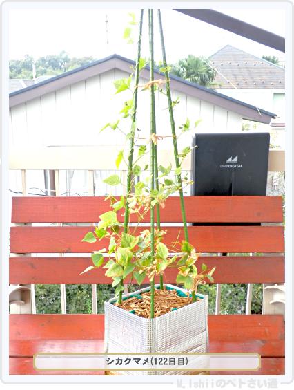 ペトさい(シカクマメ・改)60