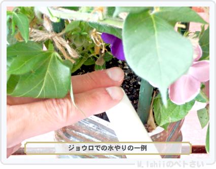 ペトさい(あさがお)49