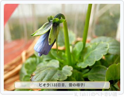 ペトさい(ビオラ)48