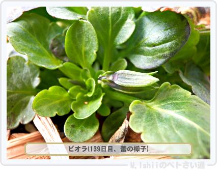ペトさい(ビオラ)50