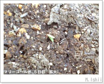 花のペット栽培(マリーゴールド)04