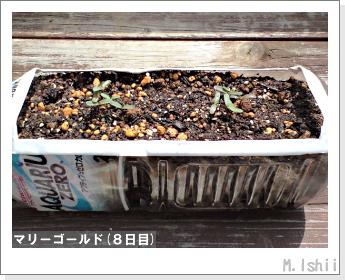 花のペット栽培(マリーゴールド)05
