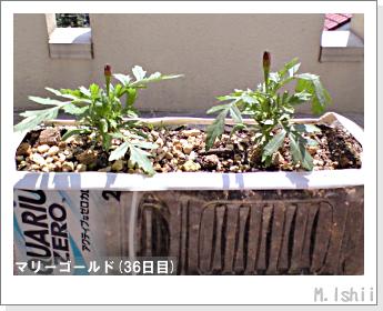 花のペット栽培(マリーゴールド)10
