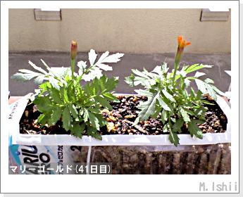 花のペット栽培(マリーゴールド)11