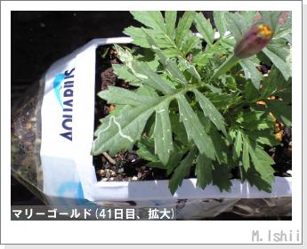 花のペット栽培(マリーゴールド)12