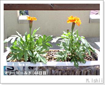 花のペット栽培(マリーゴールド)13