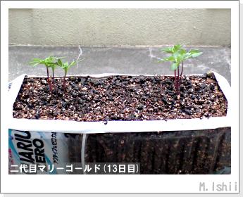 花のペット栽培(マリーゴールド)27