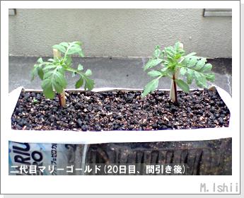 花のペット栽培(マリーゴールド)29