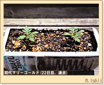 花のペット栽培(マリーゴールド)30