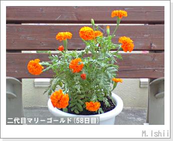 花のペット栽培(マリーゴールド)40