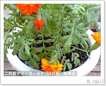 花のペット栽培(マリーゴールド)41