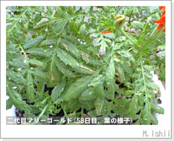 花のペット栽培(マリーゴールド)42