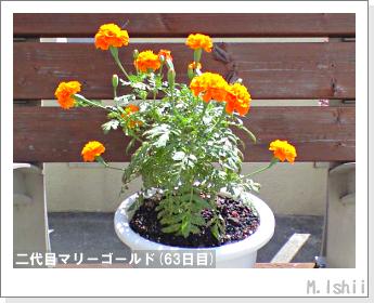 花のペット栽培(マリーゴールド)44