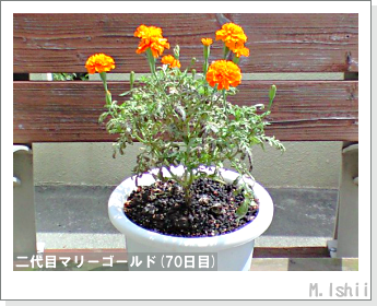 花のペット栽培(マリーゴールド)45