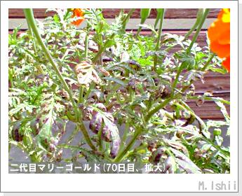 花のペット栽培(マリーゴールド)46