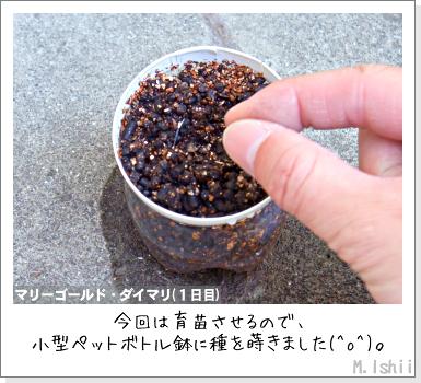 花のペット栽培II(マリーゴールド)05