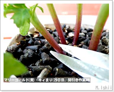 花のペット栽培II(マリーゴールド・改)14