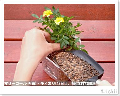 花のペット栽培II(マリーゴールド・改)21